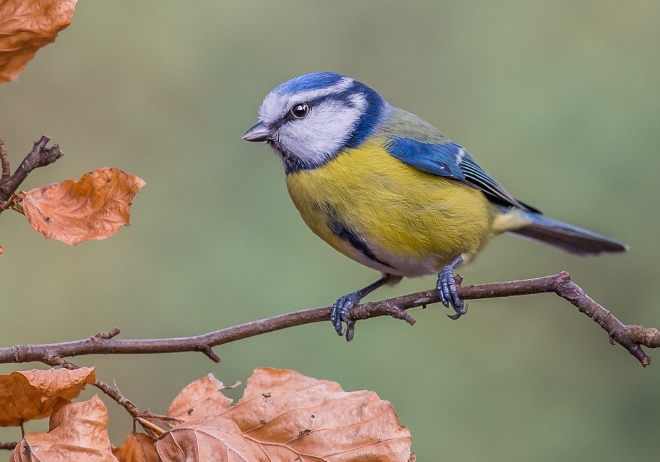 Blue Tit at Millers Wood