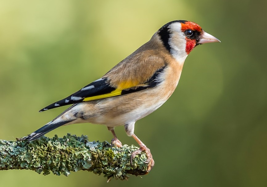 Goldfinch at Millers Wood